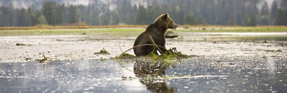 A grizzly bear sitting in the water in the intertidal zone