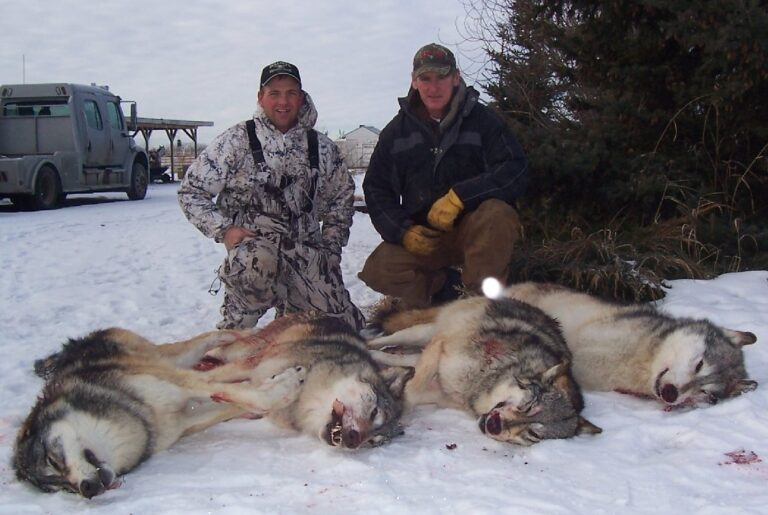 Alberta slaughters more than 1,000 wolves and hundreds of other animals