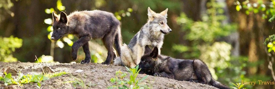 A family of wolves on a rocky outcropping.