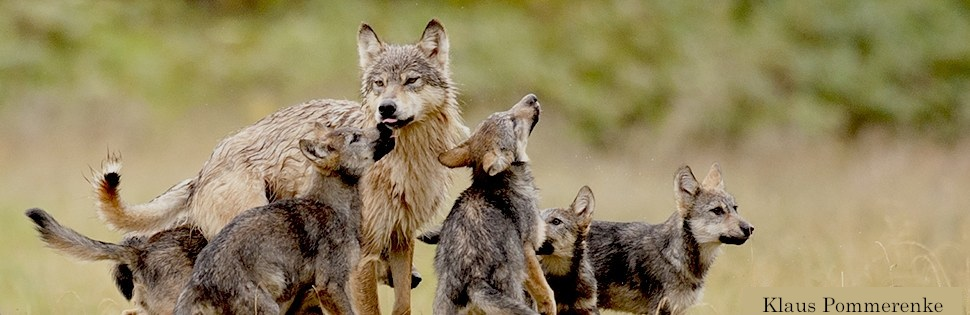 A wolf with cubs