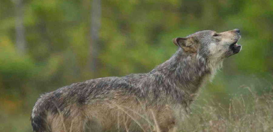 Carnivore expert discusses BC 'wolf management plan'