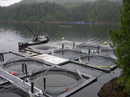 Fish farms on the BC coast threaten wild salmon
