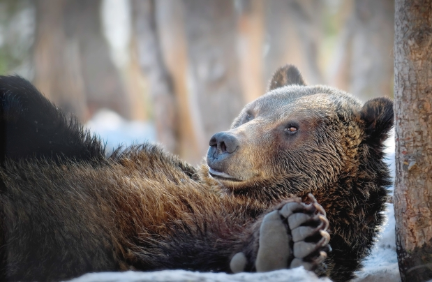A grizzly bear lying on his back