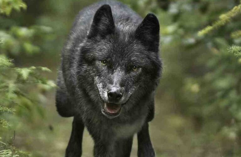 Stress affects wolves in hunting grounds, and it may alter their evolution: study