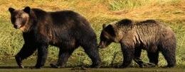 Study confirms grizzlies living on unprotected coastal islands