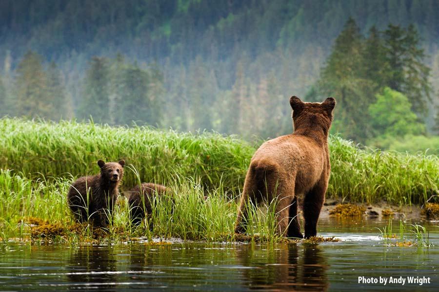 A mother grizzly bear stands with two cubs on the edge of a clearing