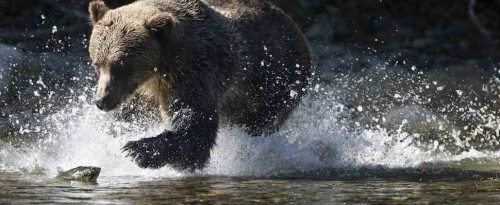 Grizzly bear (Ursus arctos horribilis), fishing for salmon (Oncorhynchus sp.), coastal British Columbia.