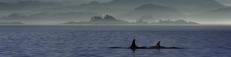 Killer whales swimming in the ocean with mountains in the background