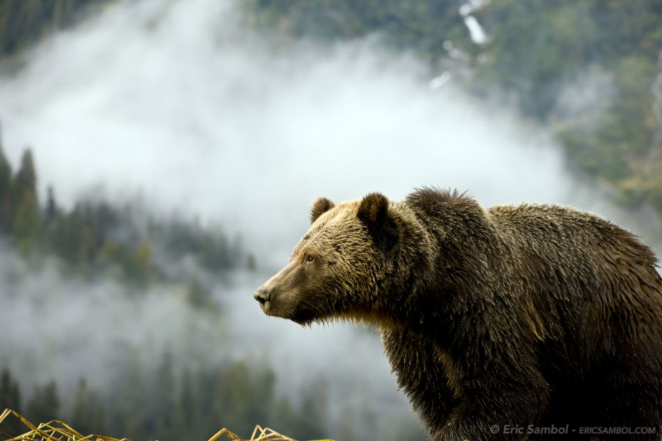 A grizzly bear gazes into the fog in the Great Bear Rainforest.