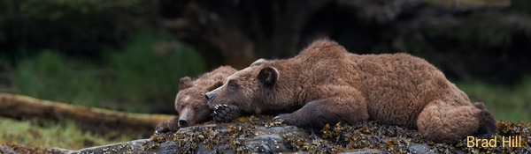 Two grizzlies relaxing on a rock