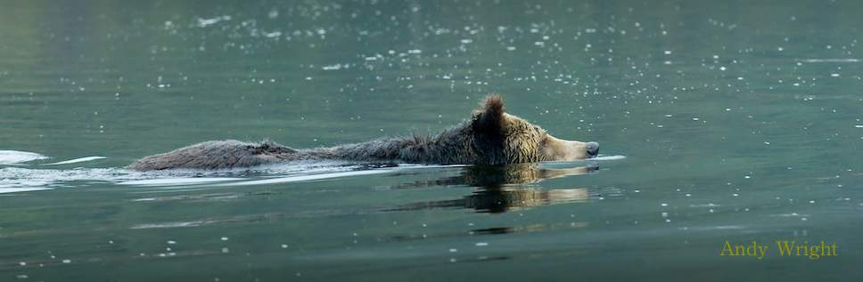 Coastal Grizzlies on the Move