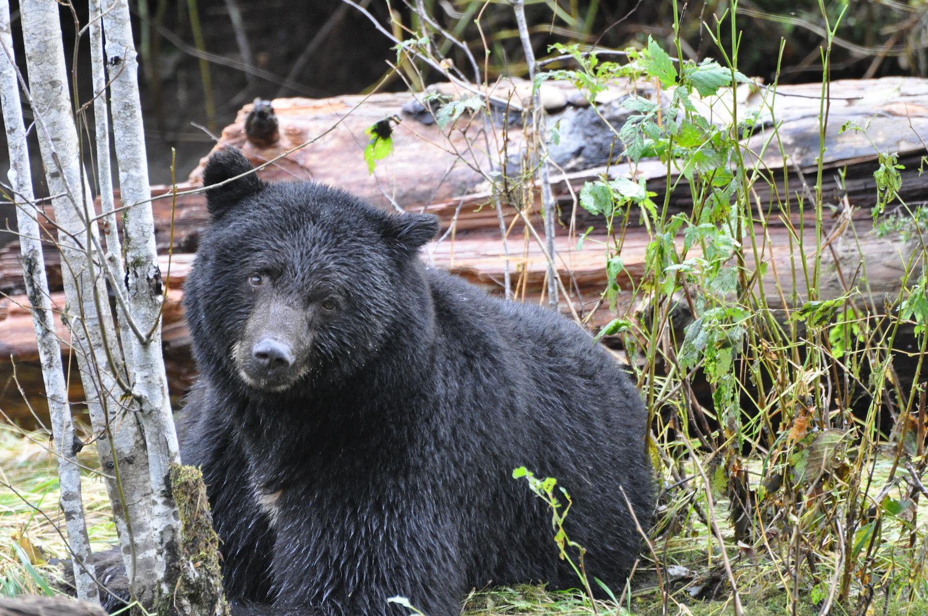Roadside bear kills raise monitoring concerns