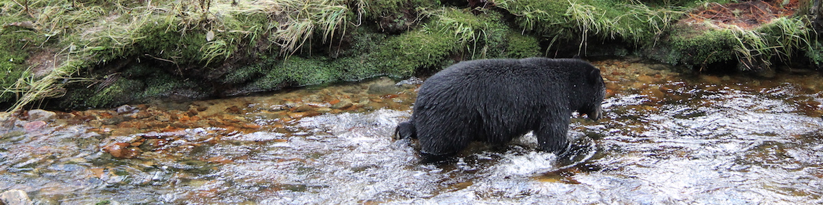 Bears need diversity of salmon species not just salmon abundance