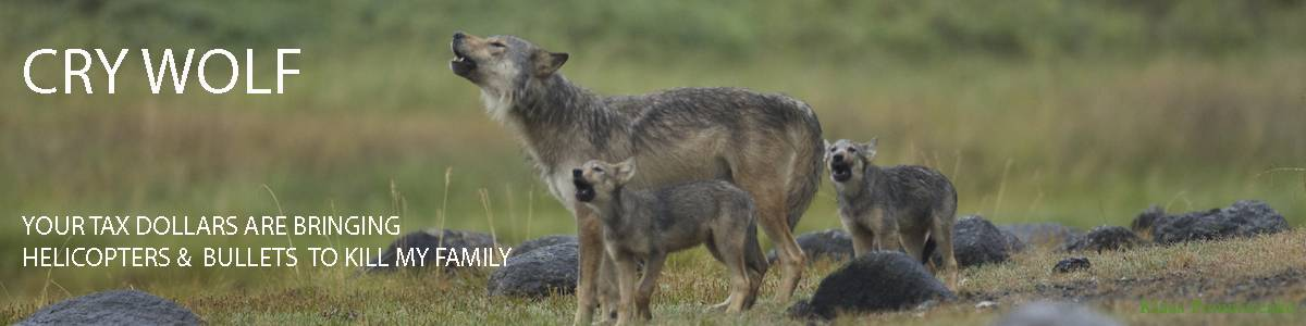 BC hunting wolves by helicopter to save endangered caribou