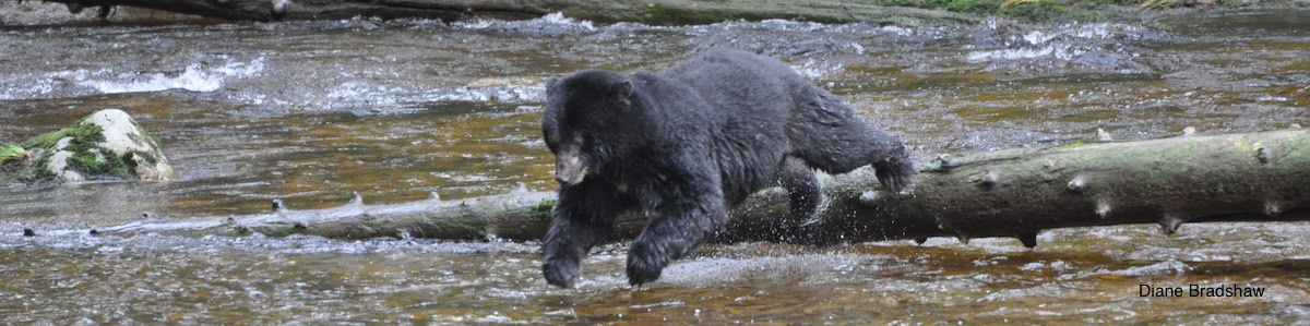 Salmon diversity more important to black bears than numbers