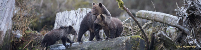 """""""Hunt"""" grizzlies in the Great Bear Rainforest with Raincoast in 2017"""