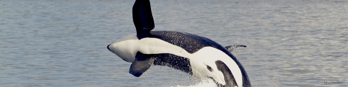 Killer whale scientists call for noise reduction in the Salish Sea