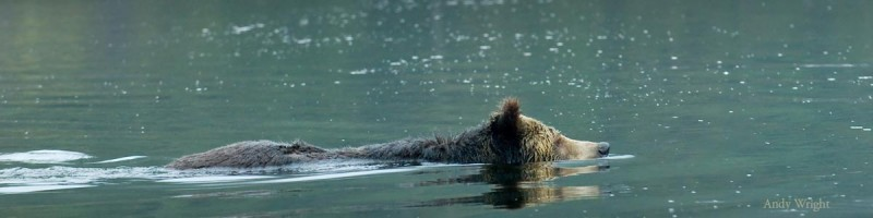 A bear swims in the rain, just off of the Great Bear Rainforest