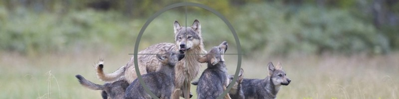 Wolves standing in the cross hairs of a gun sight
