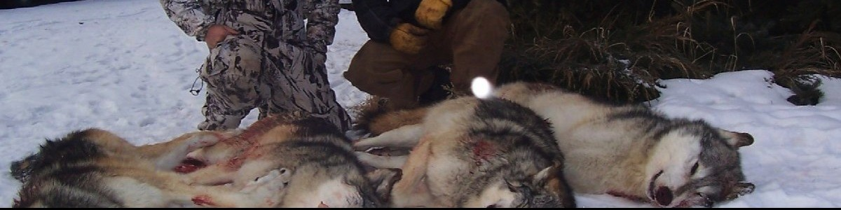 AVAAZ Petition launched to stop the Alberta wolf cull