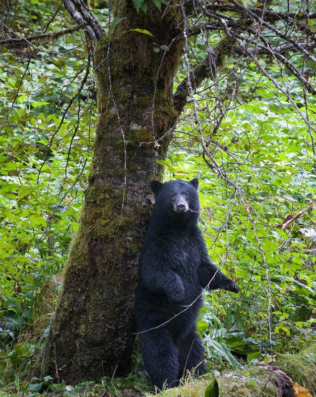 A black bear stands on his hind legs and leans up against a tree
