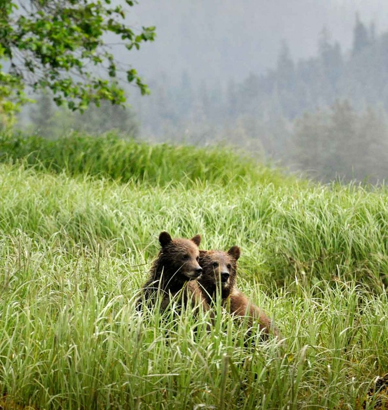 two grizzly cubs sitting in long grass