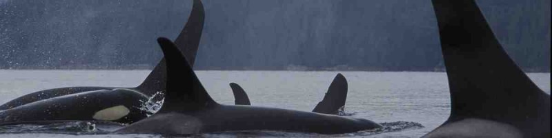 a pod of orcas on the surface of the water off of BC