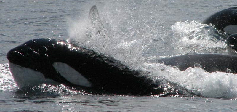 Orcas breaching, covered in water, in the sunlight