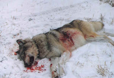 Caribou recovery plan near oilsands may target wolves