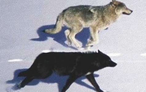 two wolves running on snow