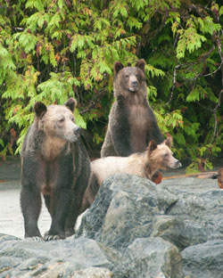 grizzly-family-koeye