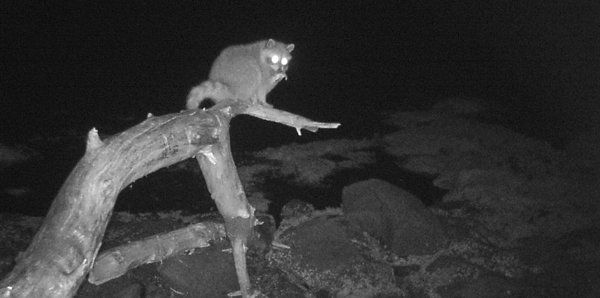 A raccoon perches on a branch in the intertidal zone in the middle on the night.