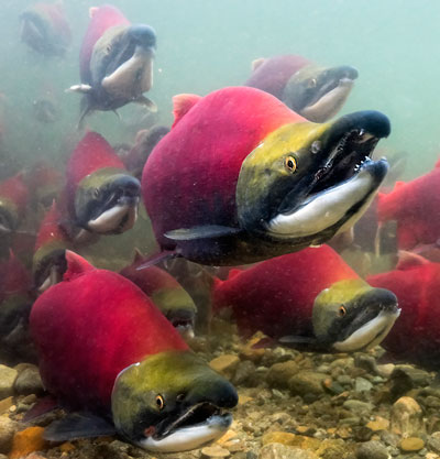 Adams River sockeye - Andy Wright