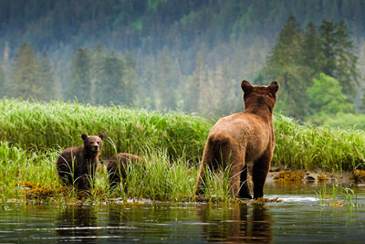 Grizzlies in the Great Bear Rainforest - Andy Wright