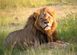 Cecil the lion and compassionate conservation