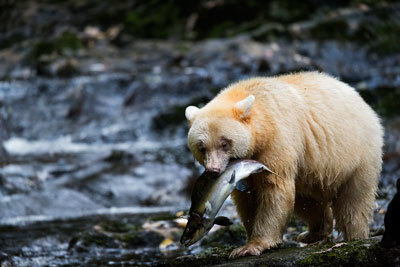 spirit-bear-fish_ND81010_web-andy-wright