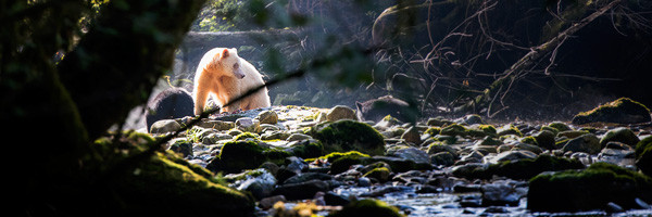 Spirit bear in the woods by a stream by Andy Wright