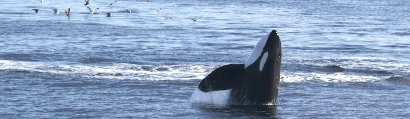 Southern Resident killer whale pokes head above water, displaying a classic spyhop behaviour