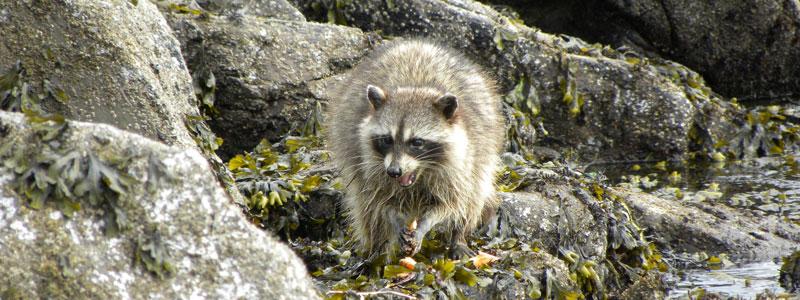 Raccoon foraging in intertidal zone