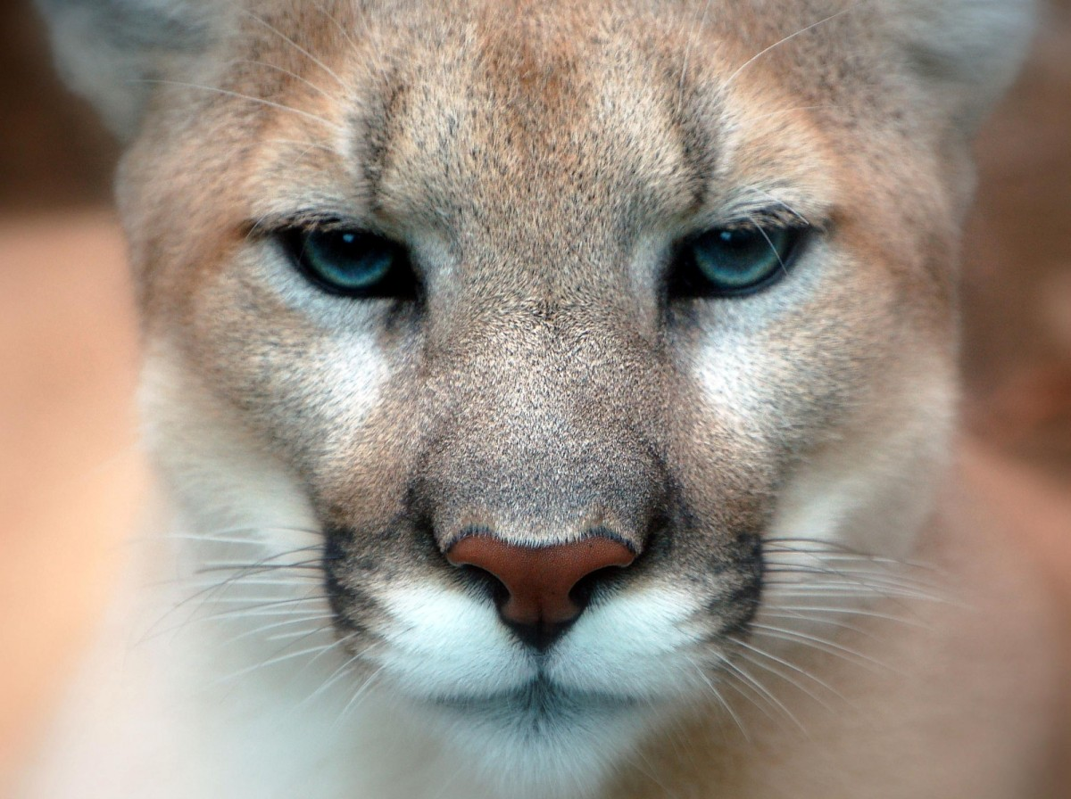 Closeup of a cougar face