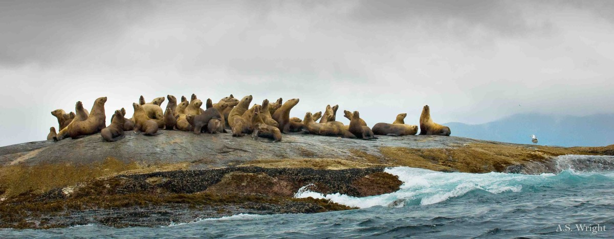 A.S.Wright-ilcp-sealions-jpeg38-web wm