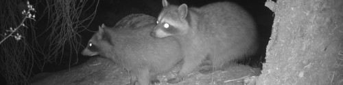 A pair of raccoons in the dark sit in a tree.