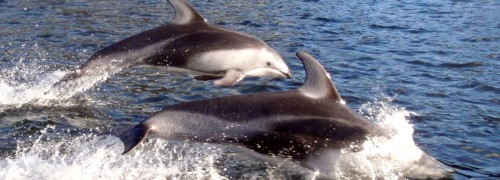 Several Pacific white-sided dolphins burst from the water in a pod