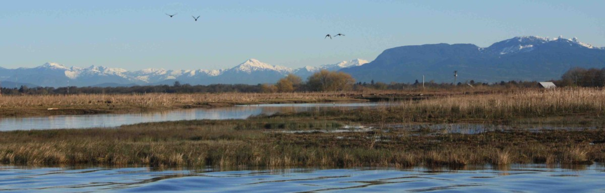 A salt marsh at the mouth of the Fraser River is used by juvenile salmon, other fish species, and thousands of resident and migratory birds. Photo: M. MacDuffee