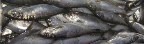 A pile of silvery Pacific herring.