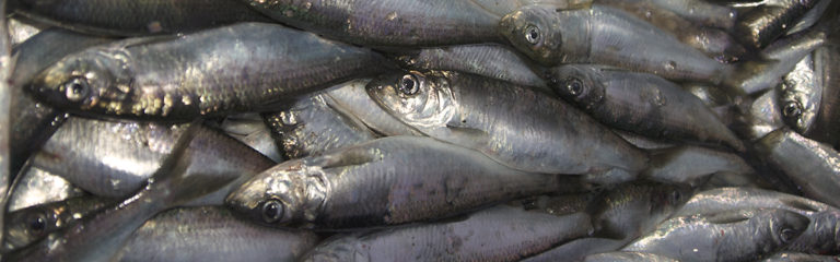 Pacific herring and fisheries management in Canada: a new era or history repeated?
