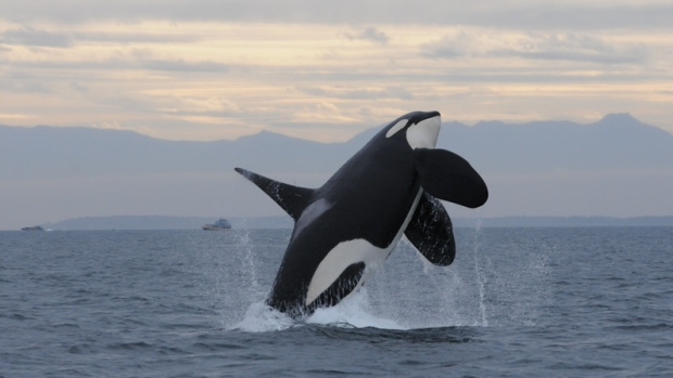Southern Resident killer whale breaching from the waters of the Salish Sea with mountains in the background.