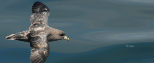 A dark morph Northern fulmar flies over the blue gray waters of the Pacific Ocean off the coast of BC.
