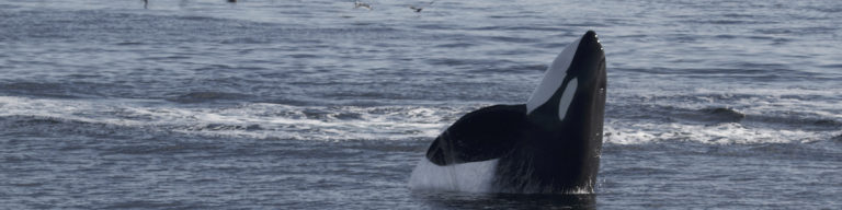 Immediate action essential for Southern Resident killer whales