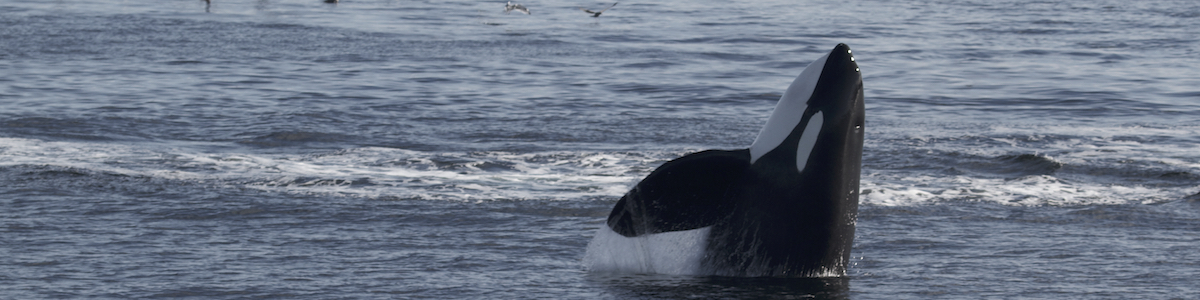 Southern Resident killer whale pokes head above water, displaying a classic spyhop behaviour.